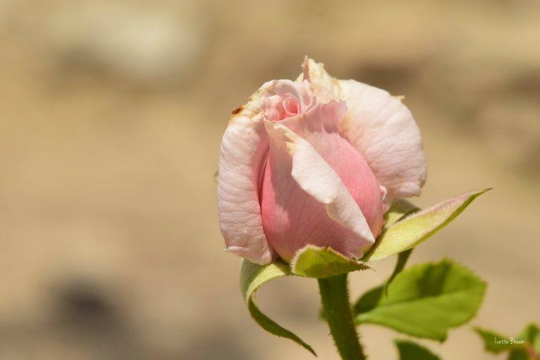 roze-bolle-buikje