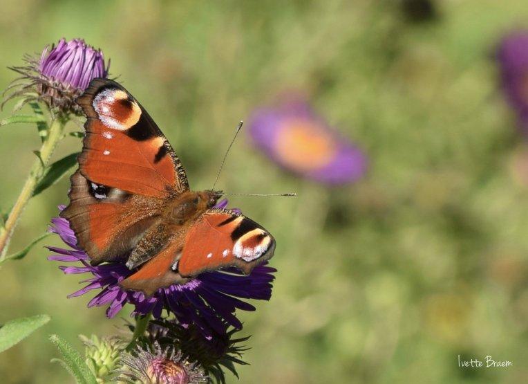 vlinder-macro