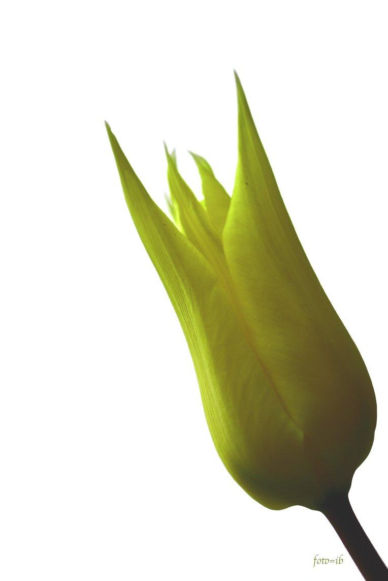 gele tulp.jpg
