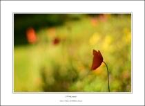 a shy poppy